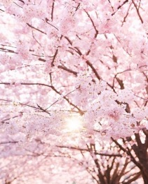 """This photo was taken in High Park, and it shows the beauty of Sakura. A ray of sunlight thrust out through the clouds reaching the branches, and the petal. I was standing under a big cherry blossom tree and the fluttered petals reminded me of the Sakura in my hometown. I left my hometown and came to Canada two years ago. I love the local unique culture here. I was so excited and surprised to see Sakura in High Park because Sakura had been part of my life when l was a child. My old house in my hometown was surrounded by blossom trees planted by my grandfather. My grandmother loved Sakura so much she said, """"Even though their life is short, they enjoy blooming in their respective positions to achieve value."""" The air is fragrant with the smell of Sakura when it is in full blossom. At this time, my grandfather always told me the story of how they met each other and fell in love. Once I wanted to break branches to put in a vase and my grandma stopped me and said, """"The best flowers are always alive."""" At the end of the blossom season she would collect the petals and take care of every single tree to ensure they were relaxed. She used petals to create many different things. The one I like best is cherry blossom green tea, a subtle blend of green tea flavor and the fragrance of Sakura. We dry those petals and keep them in a wooden box, and make mellow tea when winter comes. I like the smells in the air, fresh cut grass, tilled earth, blooming flowers. I pay respect to nature and life. Although actual Sakura only lasts for a brief period, Sakura has been a symbol of my family culture and tradition."""
